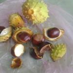 Конский каштан при лечении гайморита